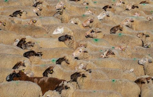 Group of Sheep on Brown Sand
