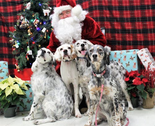 Free stock photo of christmas, christmas dog