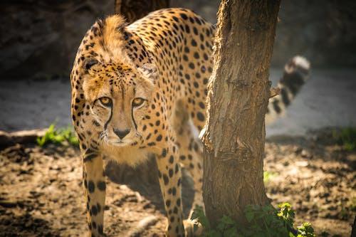 Cheetah on Brown Tree Branch