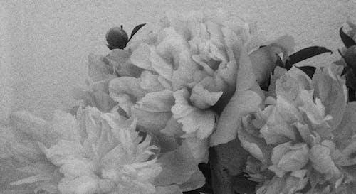 Free stock photo of flowers, grainy, peonies