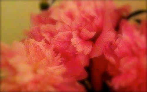 Free stock photo of blur, flowers, peonies