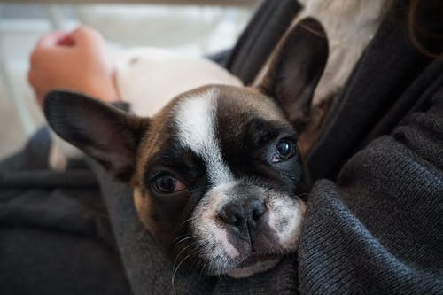 Free stock photo of baby dog, french bulldog
