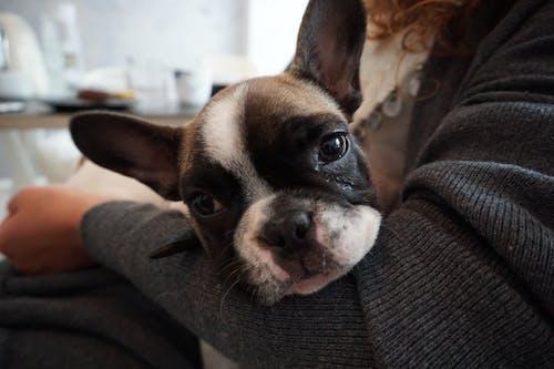 Free stock photo of french bulldog, puppy