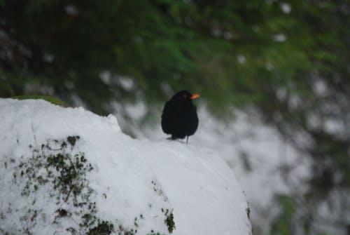 Free stock photo of bird, blackbird