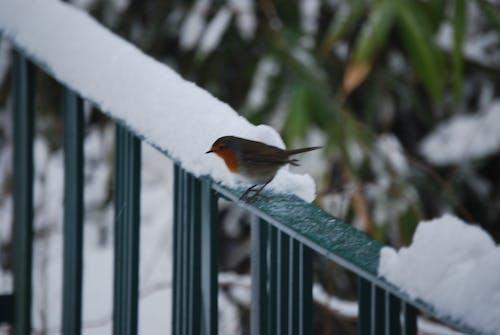 Free stock photo of bird, robin