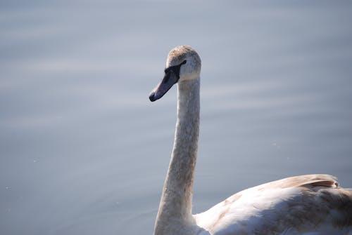Free stock photo of bird, swan