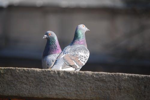 Free stock photo of bird, pigeon