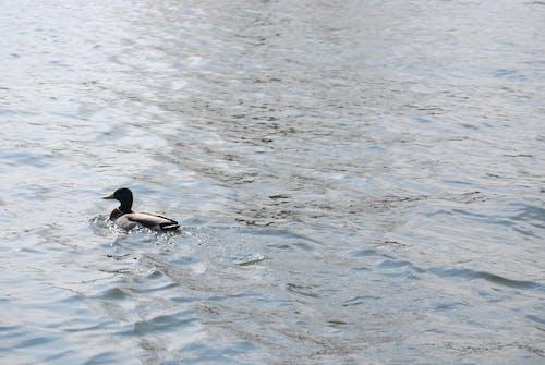Free stock photo of bird, duck