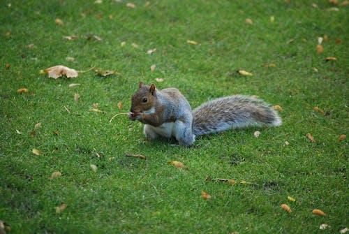 Free stock photo of grey squirrel, squirrel