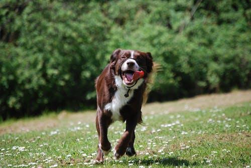 Free stock photo of dog, spaniel