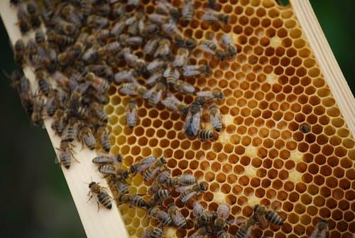 Free stock photo of bee, honeybee, honeycomb