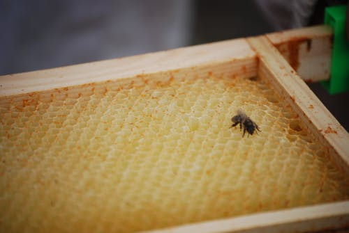 Free stock photo of bee, honey, honeybee