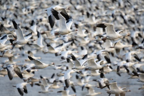 Flock of Gulls Flying