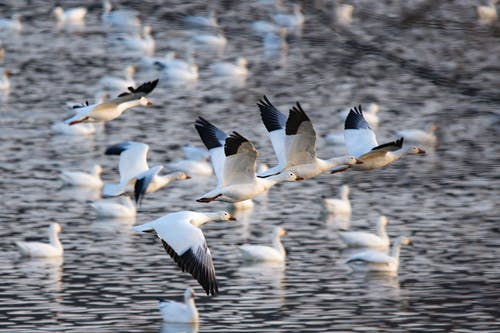 White and Black Birds Flying over Body of Water