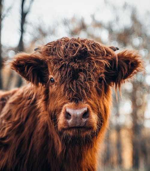 Free stock photo of animal, beef cattle, bull