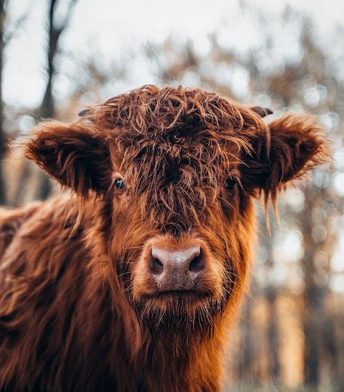 Fotos de stock gratuitas de animal, becerro, césped