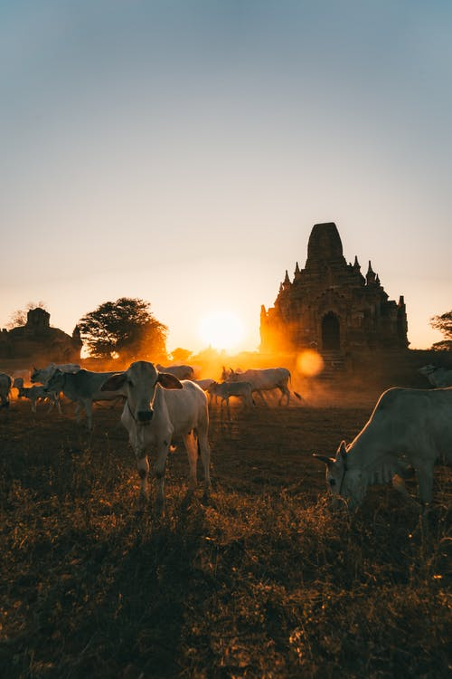 Free stock photo of agriculture, architecture, cattle