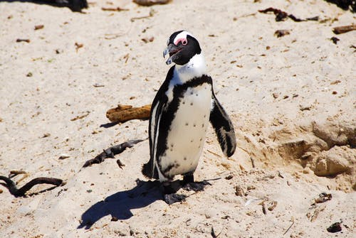 Black and White Penguin on Brown Sand