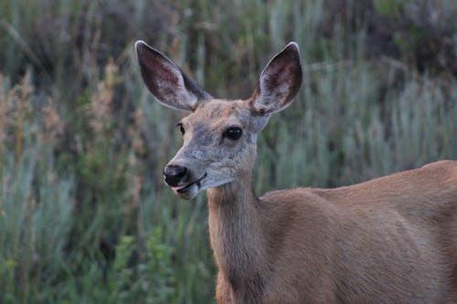 Brown Deer in Green Grass Field
