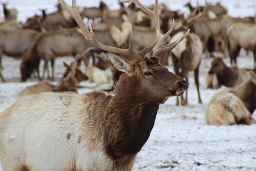 Brown Deer on White Snow