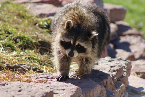 Black and White Raccoon on Brown Rock