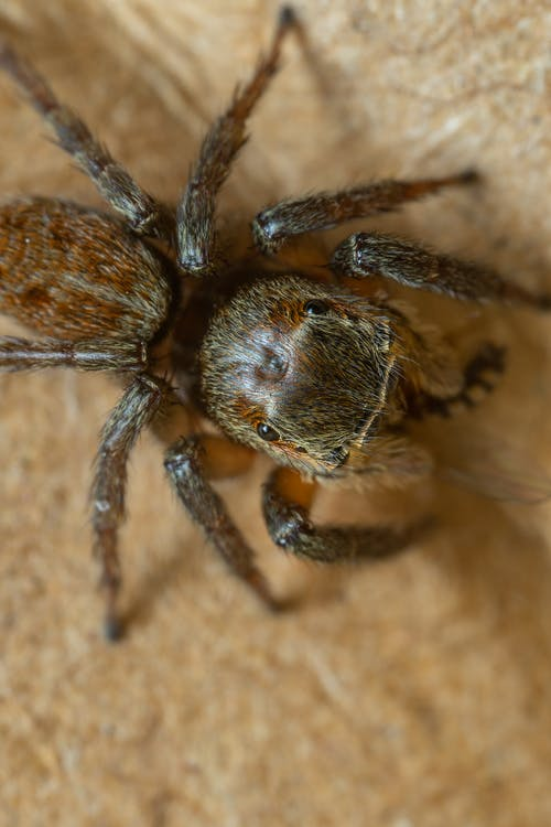 Brown Spider on Brown Wooden Surface