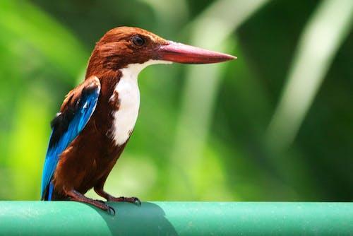 Free stock photo of bird, kingfisher, railing
