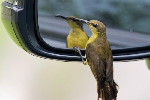 Free stock photo of car, mirror, sunbird