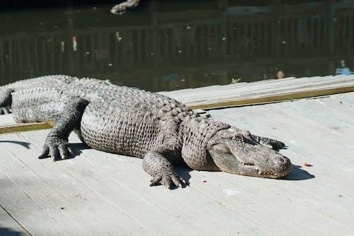 Free stock photo of alligator, everglades, florida