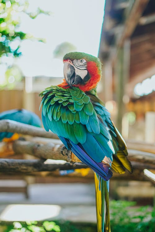Free stock photo of beautiful, feathers, parrot