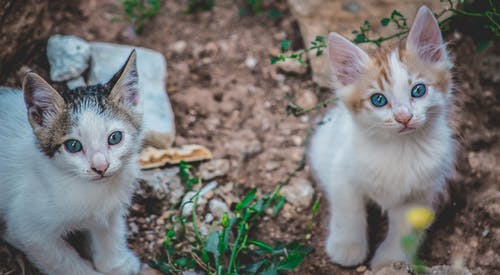 White and Brown Kitten on Green Grass