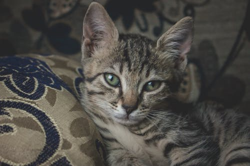Brown Tabby Cat on Brown and Black Textile