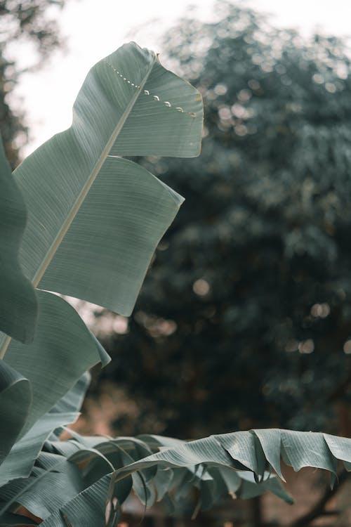 Free stock photo of banana leaf