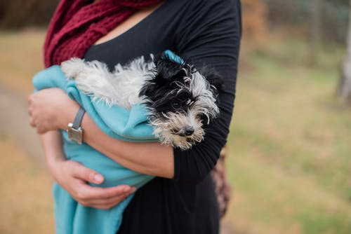 Person in Black Pants Holding White and Black Long Coated Small Dog