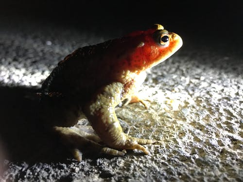 Free stock photo of animal image, toad