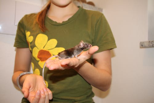 Free stock photo of animal image, mouse