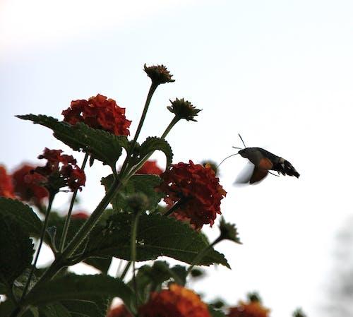 Free stock photo of butterfly, taubenschwänzchen