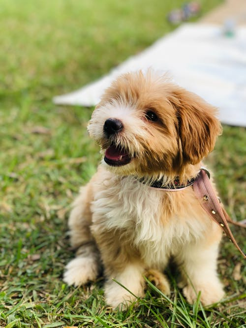 Brown Dog Sitting on the Grass Wearing Dog Collar
