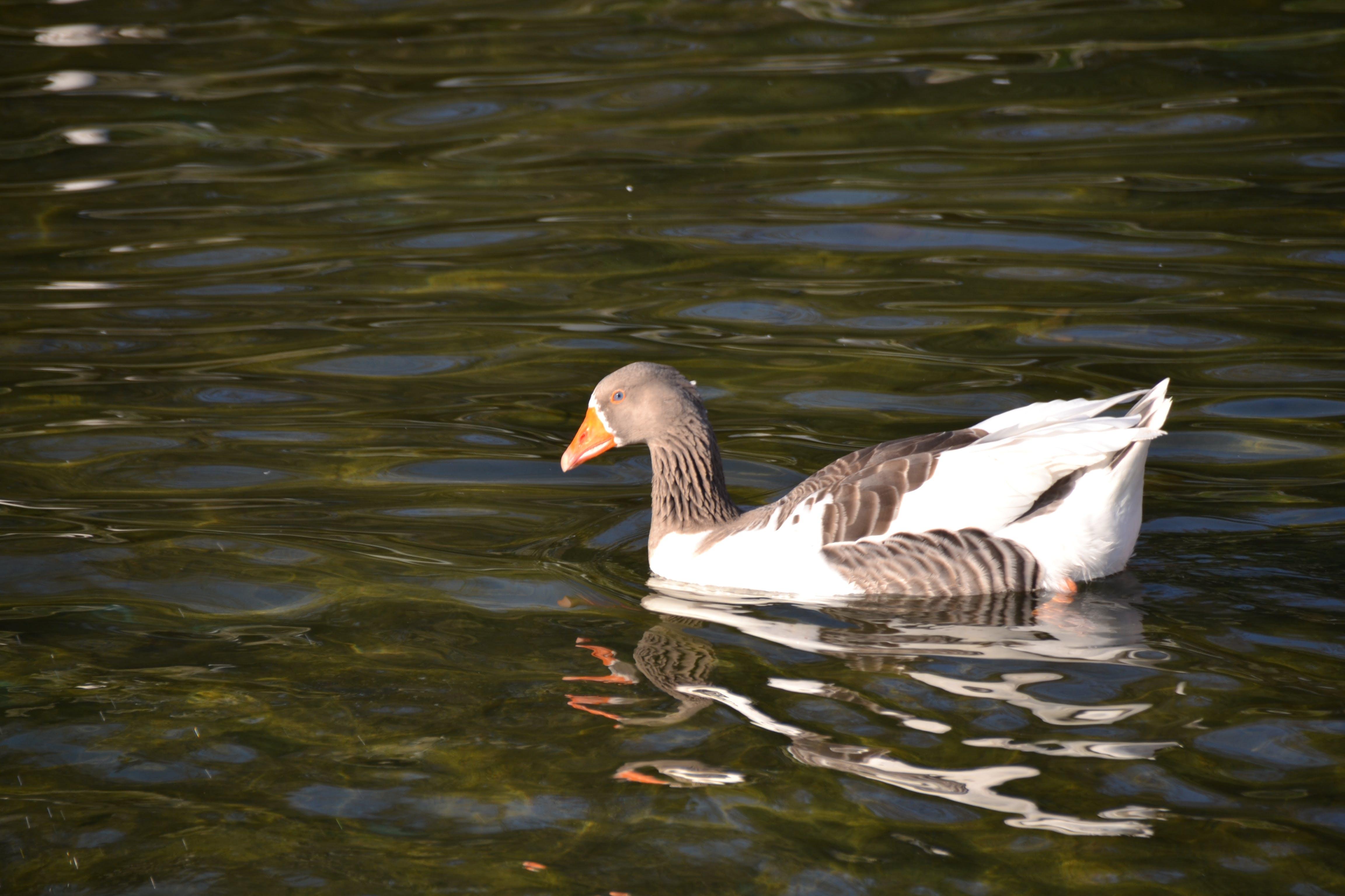 Free stock photo of duck, ornamental pool, pool, water