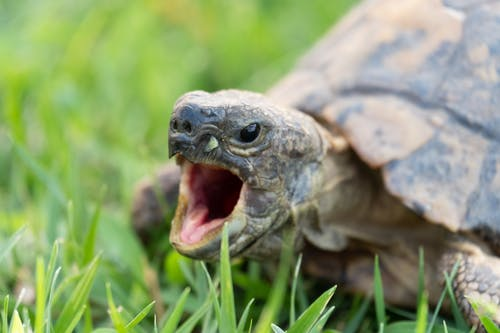 Aggressive turtle with mouth opened on grassy ground in natural habitat at daylight