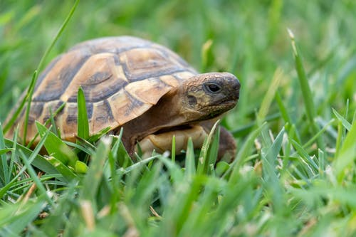 Slow turtle enclosed in scaly domed shell on grassy ground of meadow in nature