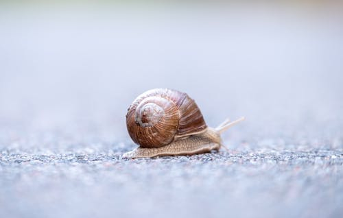 Side view of little snail mollusk with single spiral shell crawling slowly on blurred asphalt