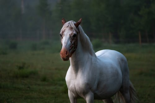Akhal Teke Turkmen horse breed with brown spots on head standing on grassy lawn in countryside
