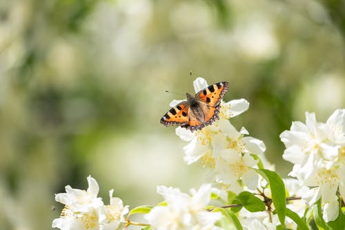 Small orange butterfly on white delicate flowers in blossom on blurred background of forest