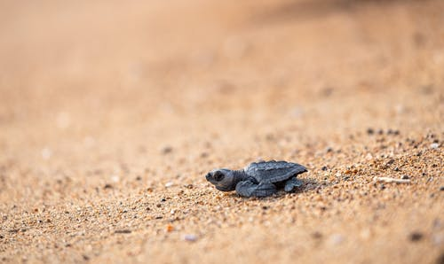 Wild tiny turtle on sandy coast