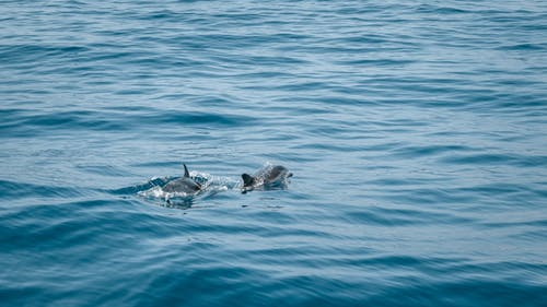 2 Dolphins in the Sea