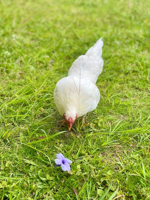 Ilmainen kuvapankkikuva tunnisteilla eläimiä, eläin, kana
