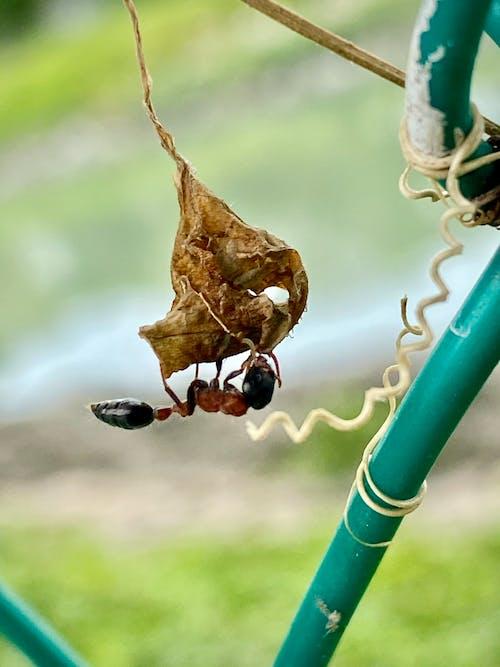 Ilmainen kuvapankkikuva tunnisteilla hyönteiset, luontokuvaus, muurahaiset