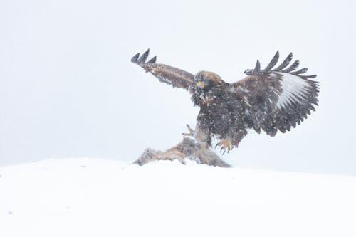 Gratis lagerfoto af dyr jagt, flyrejse, fugl