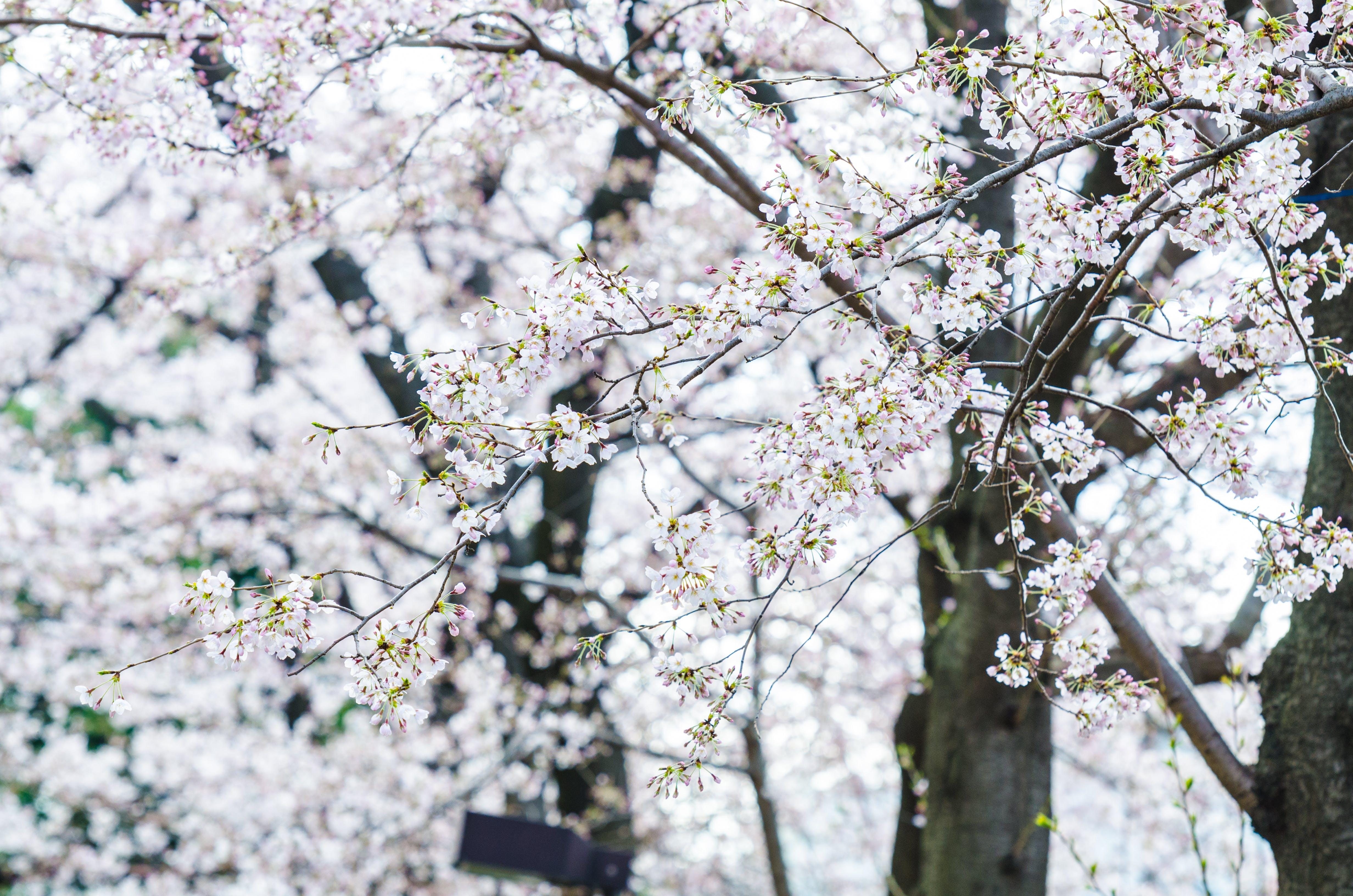 Free stock photo of cherry blossom, flowers, sakura, spring